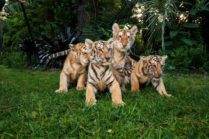 """Tiger and """"liger"""" cubs sit on grass at Myrtle Beach Safari in April 2019. The facility, ..."""