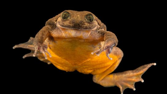 Juliet, a newly discovered Sehuencas water frog, seems to smile at the camera on January 19, ...