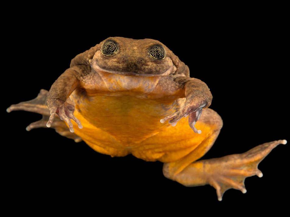 Meet Romeo, 'world's loneliest frog,' and his new mate Juliet