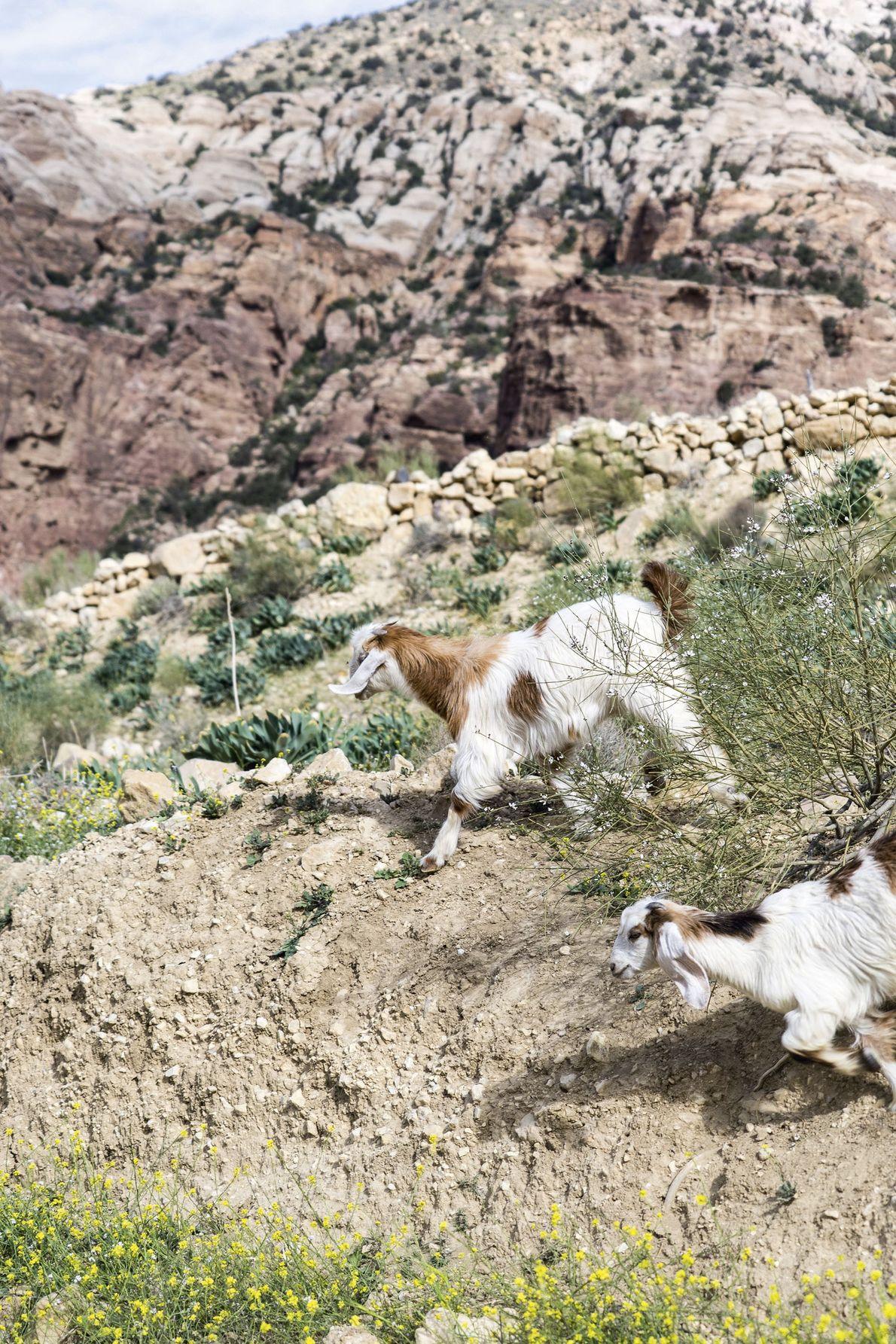 Goats roam around.