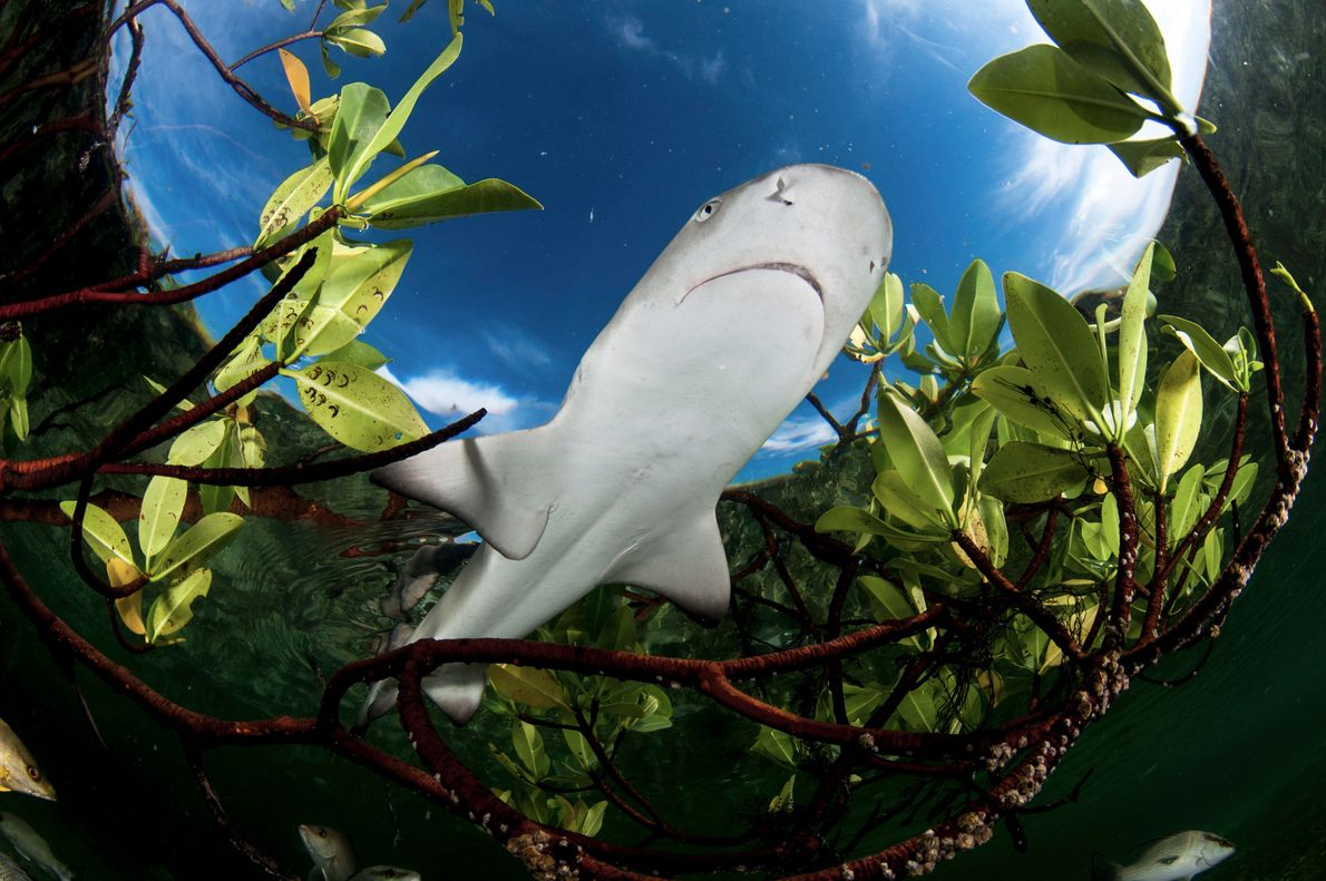 Juvenile lemon sharks spend the first two to seven years of life near mangrove trees that ...