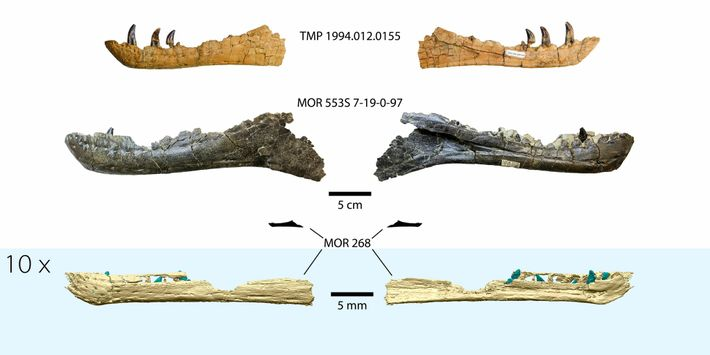 A 3D reconstruction of the embryonic tyrannosaur jaw, at the bottom of the image, compared to ...
