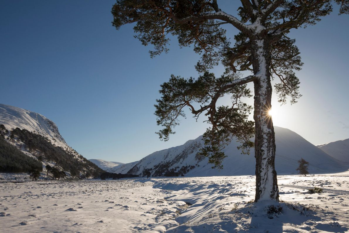 A scots pine tree in upper Glenfeshie, the western Cairngorm mountains beyond.