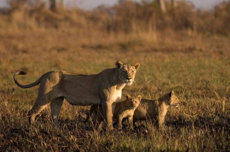 A lioness herds her cubs in the Busanga Plains in Zambia's Kafue National Park.