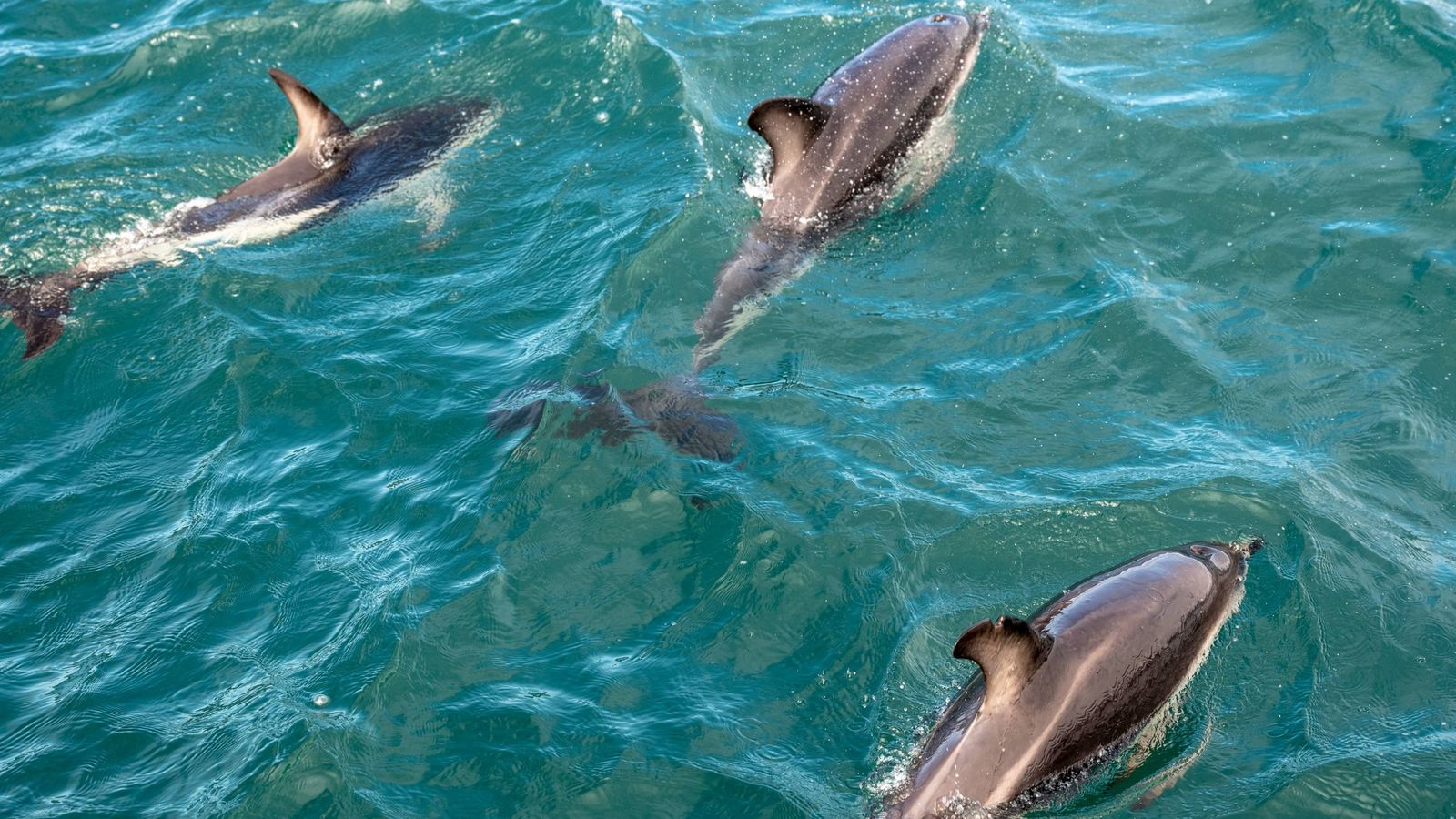 Dolphins frolic in the waters off Kaikōura, New Zealand.