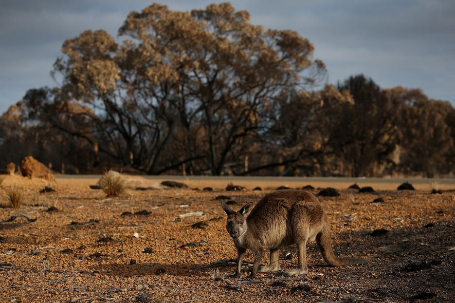 Much of Flinders Chase National Park, which celebrated its hundredth anniversary last October, has been reduced ...