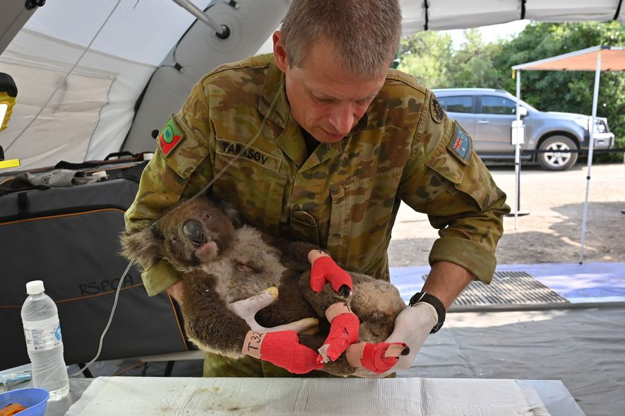 A member of the Australian Defence Force cradles a koala after it was treated for burns ...