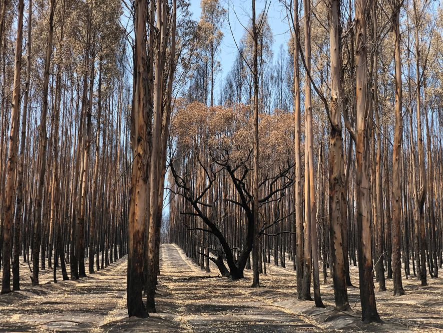 Ninety percent of Kangaroo Island's timber plantations have been burned since December, including hundreds of acres ...