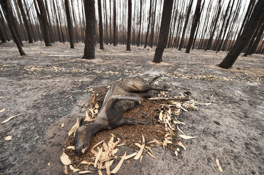 Incinerated trees and animals frozen where they were engulfed by flames are a common sight on ...