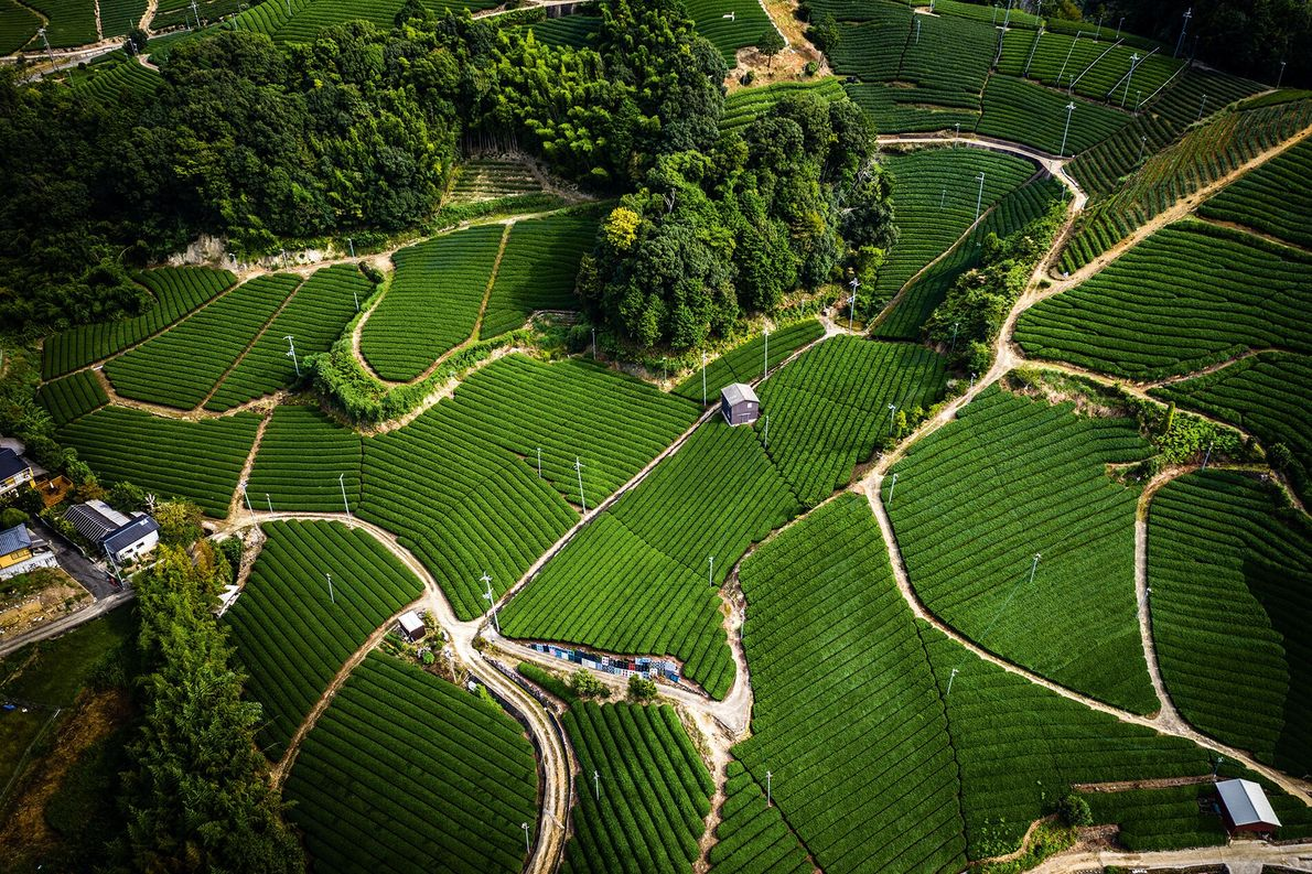 Tea grown in the Ishitera tea fields is considered to be extremely fine; the morning fog acts ...