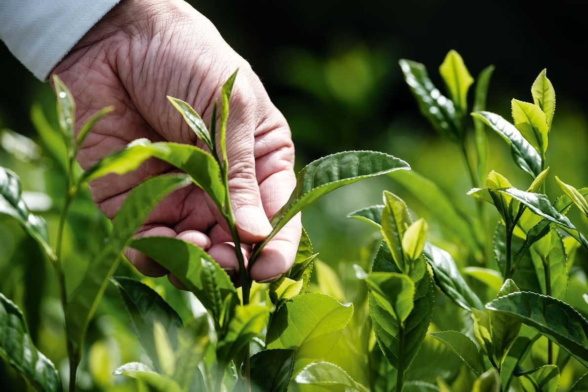 The story of green tea in Japan begins more than 800 years ago in the countryside ...