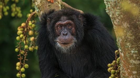 What wild chimps can teach humans about healthy aging