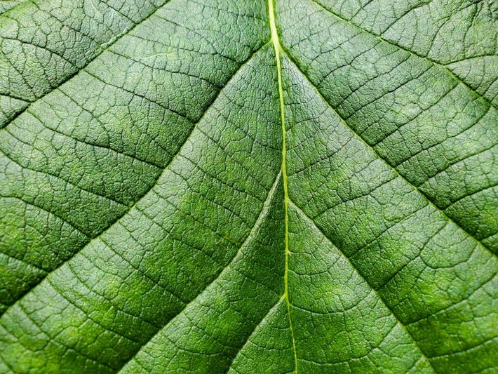 A close-up of the Karomia gigas leaf. In the wild, the trees have been observed dropping ...