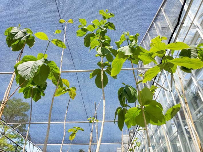 The Karomia gigas trees growing at the Missouri Botanical Garden are three years old and already ...