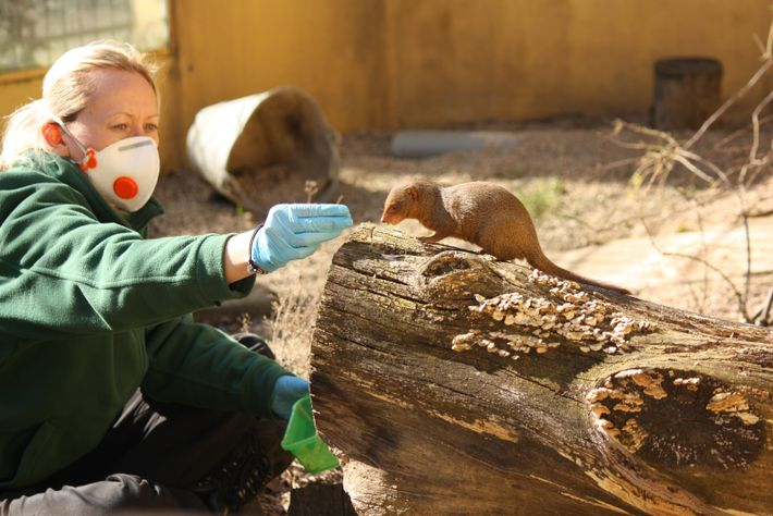 A keeper feeds a mongoose at London Zoo. Precautions to prevent the spread of COVID-19 have ...