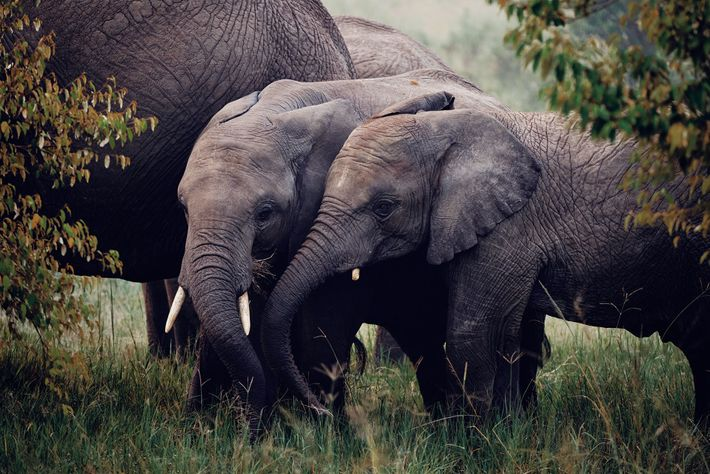 Young elephants in the Maasai Mara National Reserve.