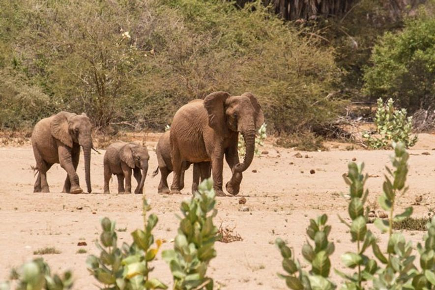 Elephants on their way to the water hole beside Saruni Rhino eco-lodge. Image: Emma Gregg