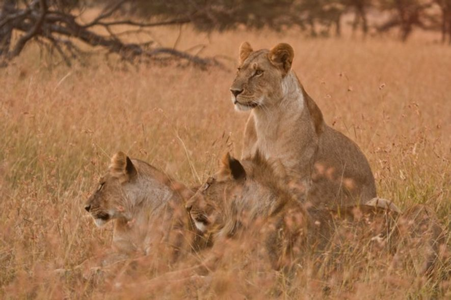 Three members of the Acacia pride of lions