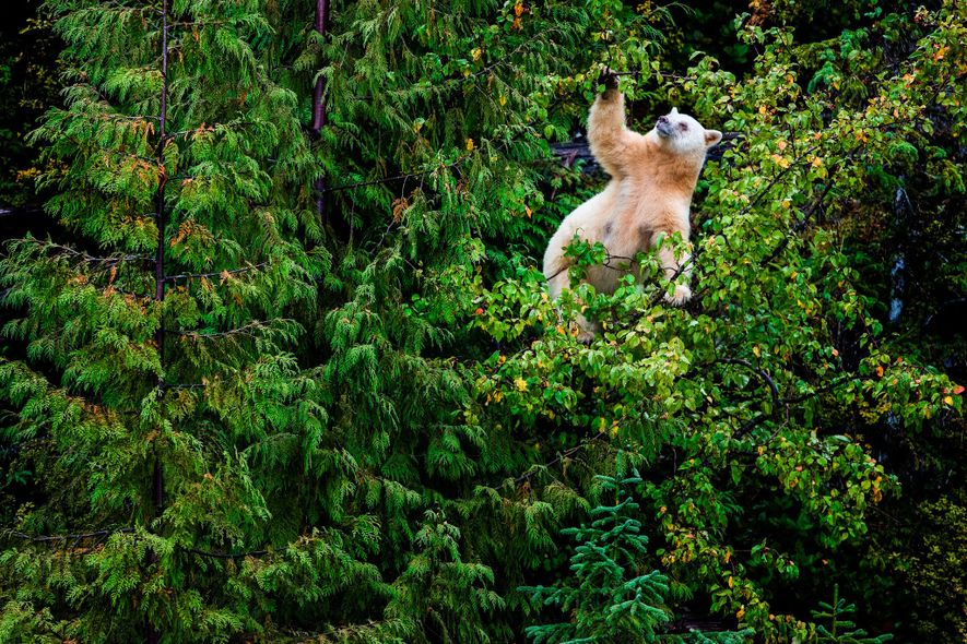 A Kermode bear mother climbs a crab apple tree to grab its fruit in the Great ...