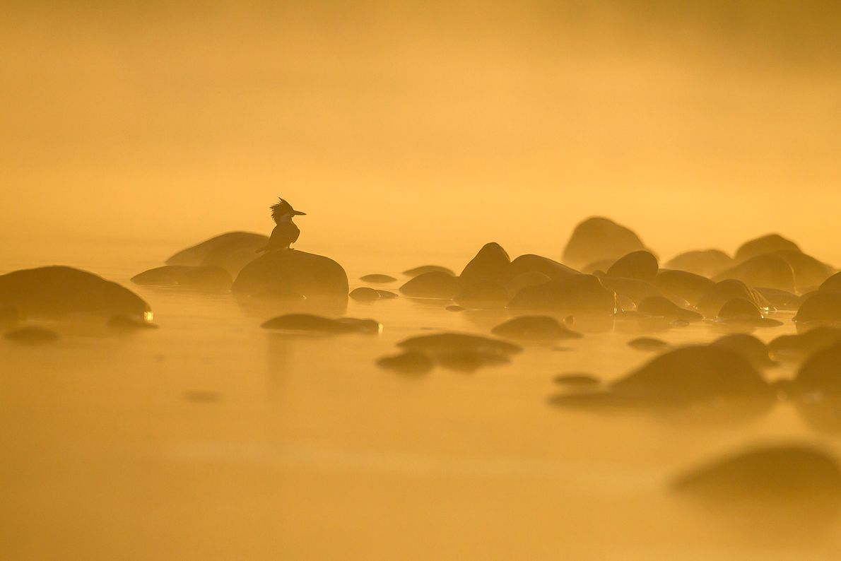 """A crested kingfisher perches on a cold winter morning at the Ramganga River. """"It's always interesting ..."""
