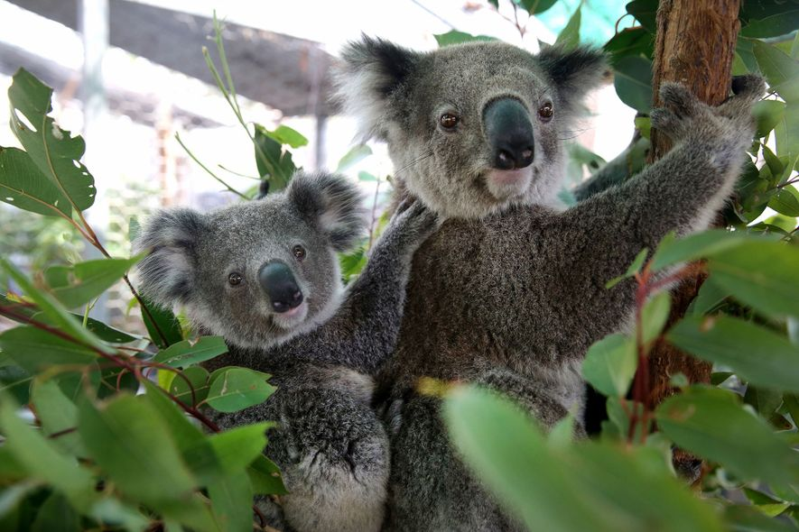 Koala Hospital volunteers found this mother and her baby searching for food and water on the ...