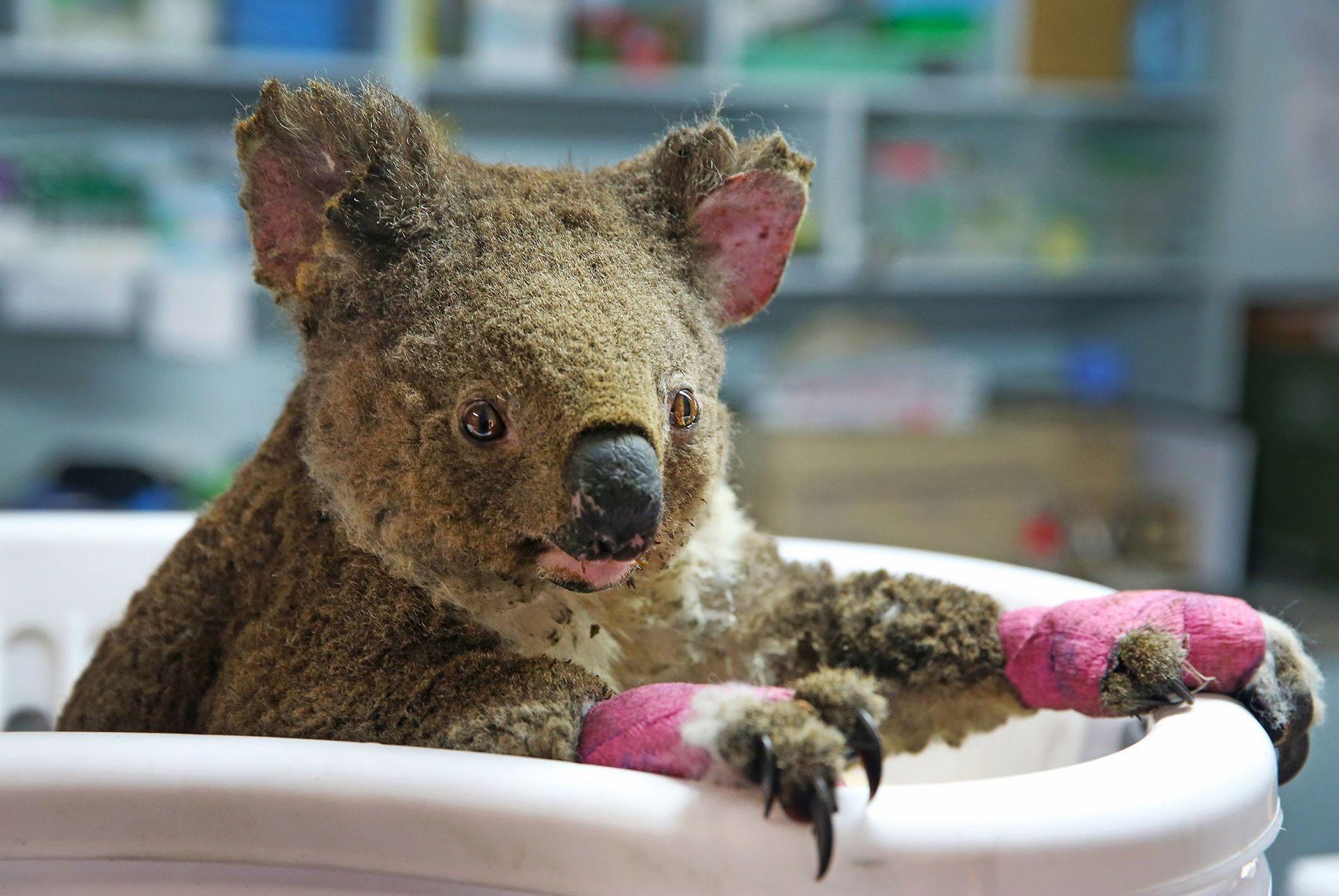 A female koala, named Anwen by her rescuers, receives treatment at the Koala Hospital in Port ...