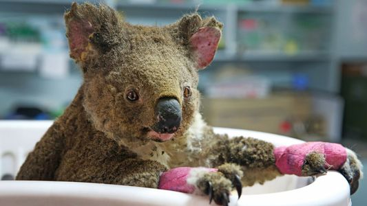 No, koalas aren't 'functionally extinct'—yet
