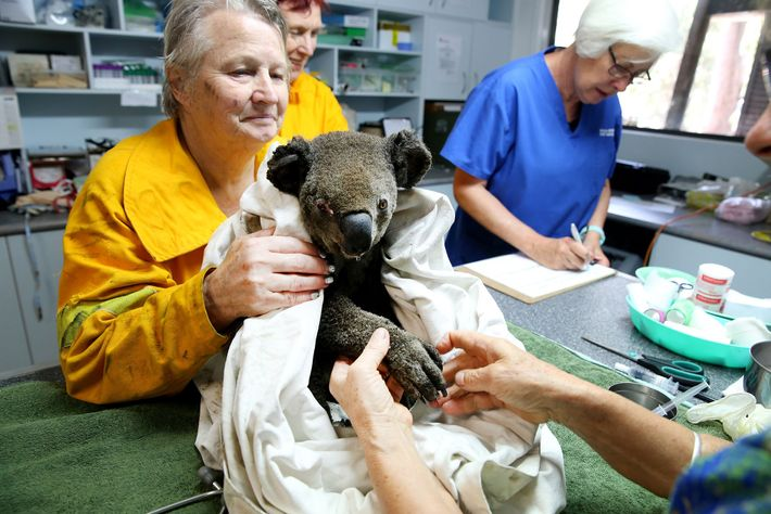 Koala Hospital staff tend to the injuries of Peter, a male koala found severely dehydrated and ...