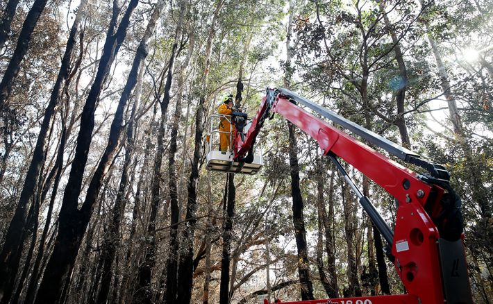 Volunteers from the Port Macquarie Koala Hospital search for injured koalas after a brushfire ripped through ...