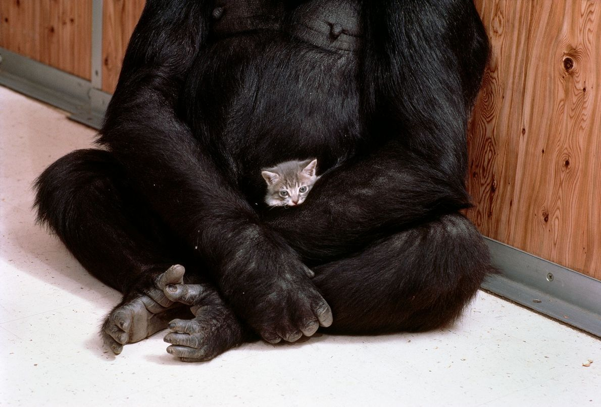 Koko carefully holds the kitten in her arms as she would a baby gorilla. Such maternal ...