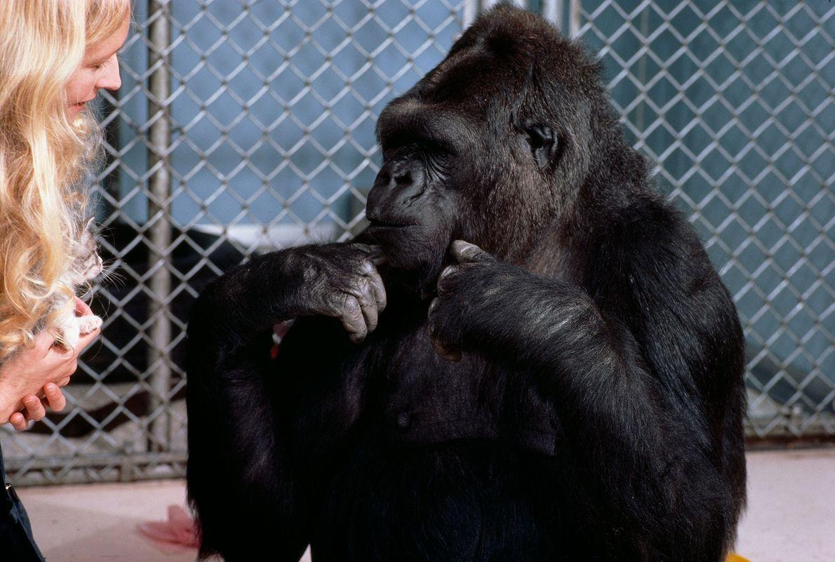 Patterson and Koko converse using American Sign Language. Koko used more than 500 signs regularly and ...