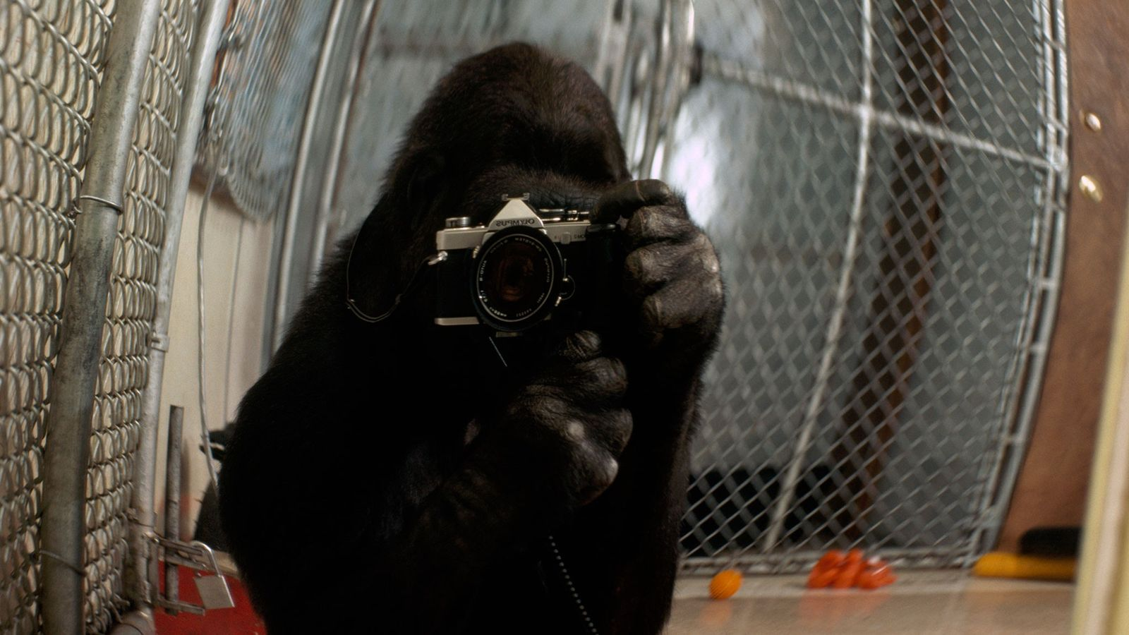 Koko takes a self portrait, an image featured in a 1978 issue of National Geographic magazine.