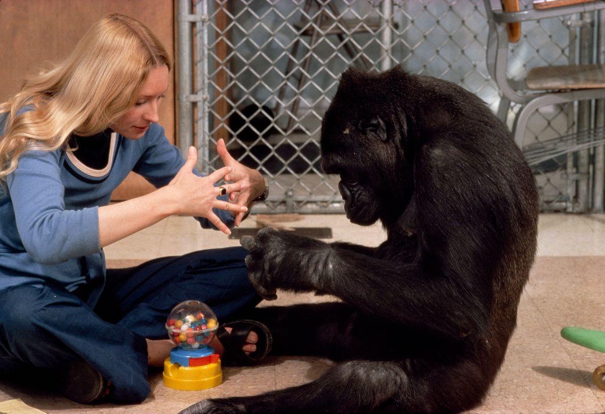 "Koko the gorilla makes the sign for ""machine""."