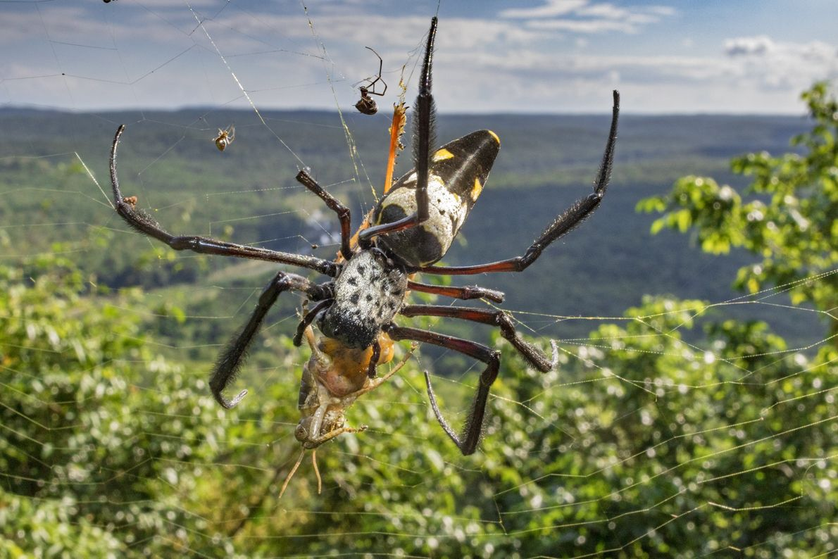 Komac's golden orb weaving spider (Nephila komaci) is considered the larges orb weaving spider in the ...