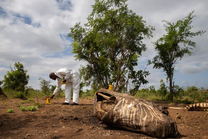 South African National Parks, which manages Kruger, works with police forensic experts to try to catch ...