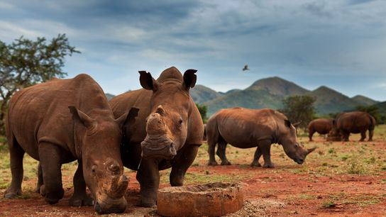 Many rhinos on private reserves in South Africa—these are at John Hume's game ranch in Nelspruit—are ...