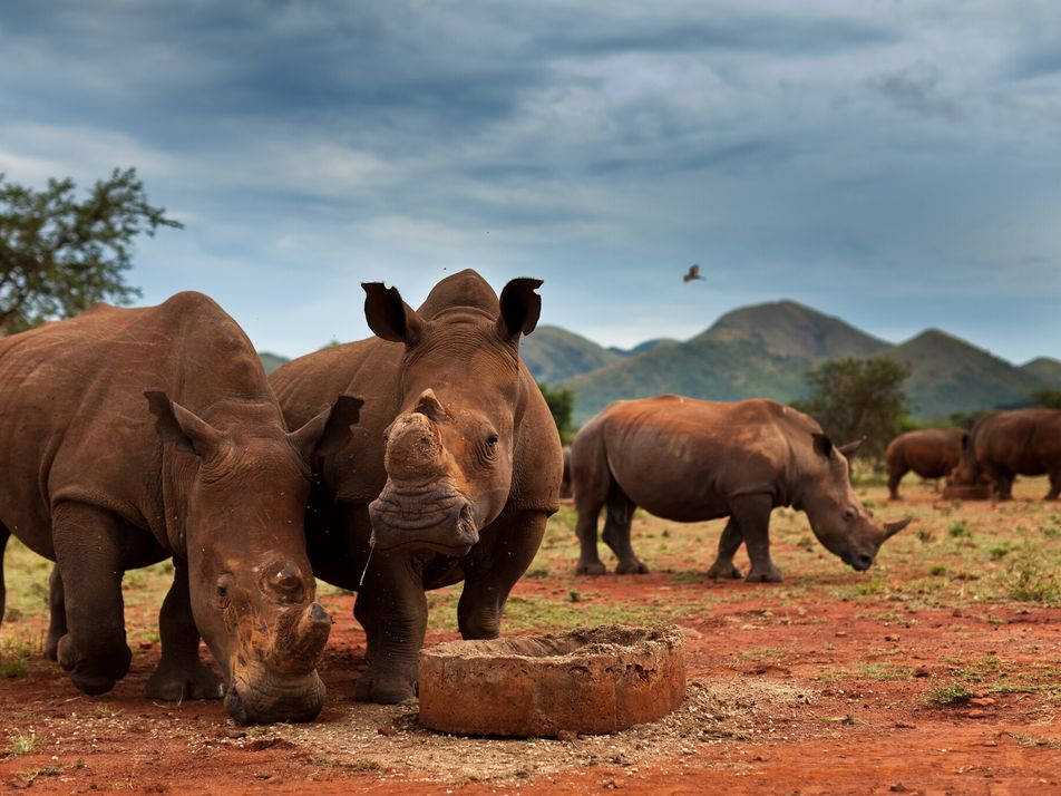 How the world's largest rhino population dropped by 70 percent—in a decade