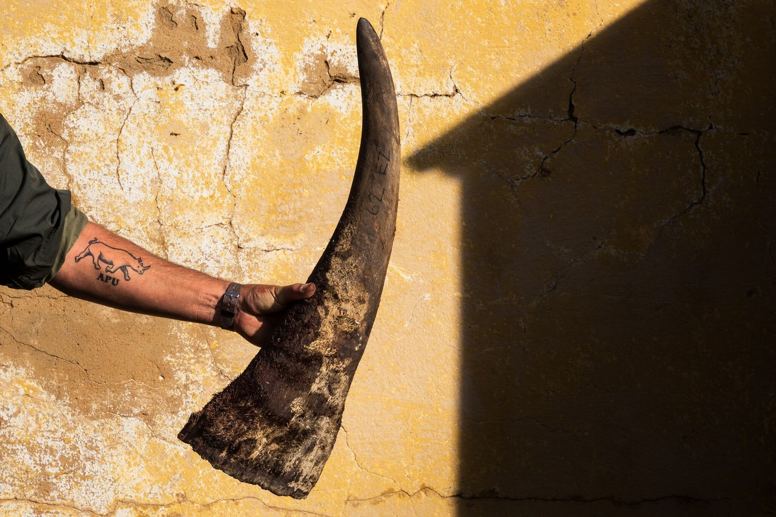When rhinos are dehorned, a roughly four-inch nub is left to protect tissue at the base ...
