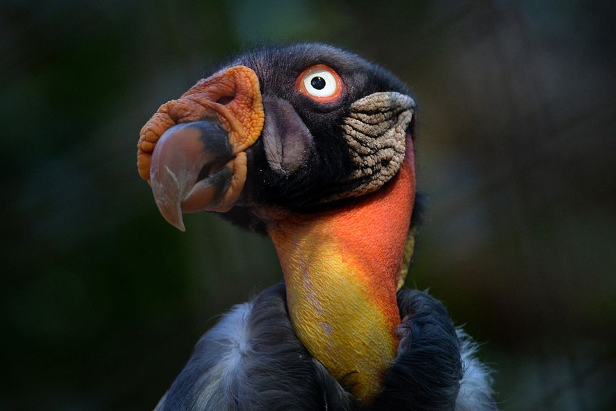 This king vulture is one of the LA Zoo's more than 1,400 animals that was potentially ...
