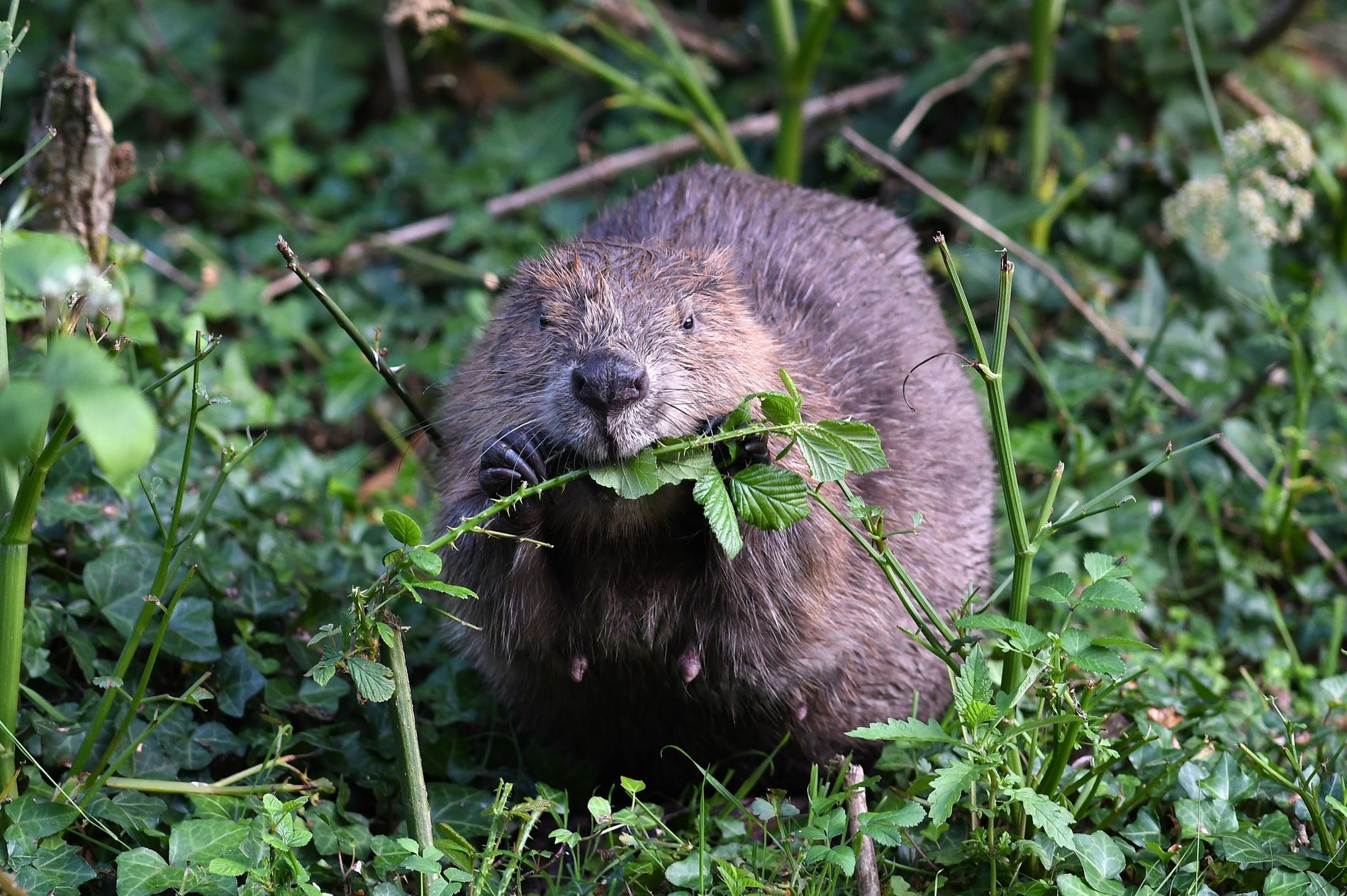 A lactating female beaver in the Cornwall project gorges on some brambles.