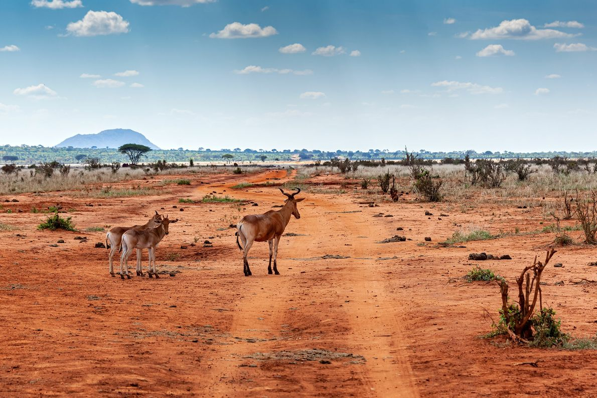Tsavo East, one of the largest and oldest national parks in Kenya, is a semi-arid expanse ...