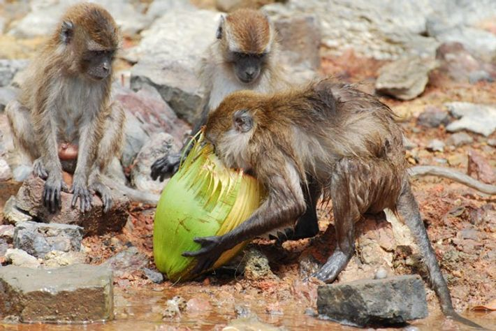 Juvenile macaque monkeys feasting on a coconut. Image: Aidi Abdullah