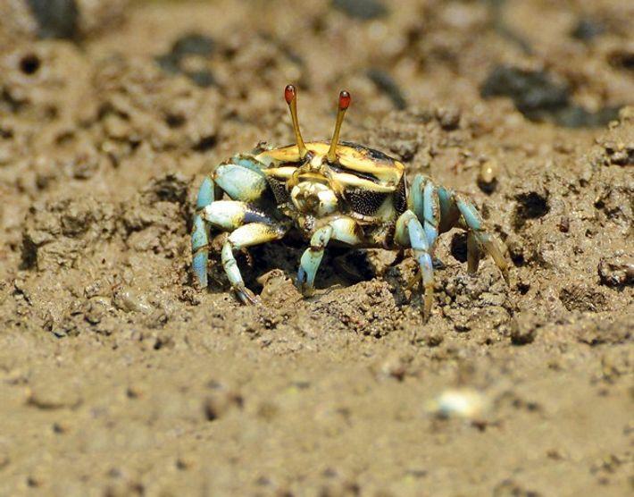 Fiddler Crab. Image: Aidi Abdullah