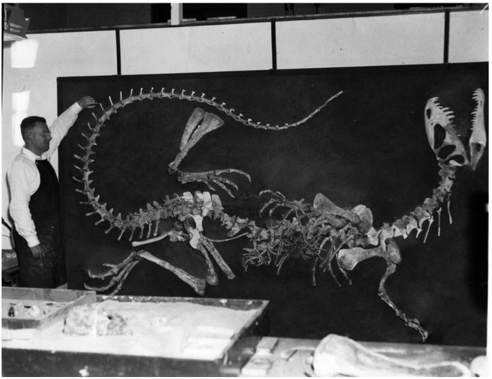 Wann Langston, Jr., at UC, Berkeley, supervises the reconstruction of the first skeleton of Dilophosaurus in ...