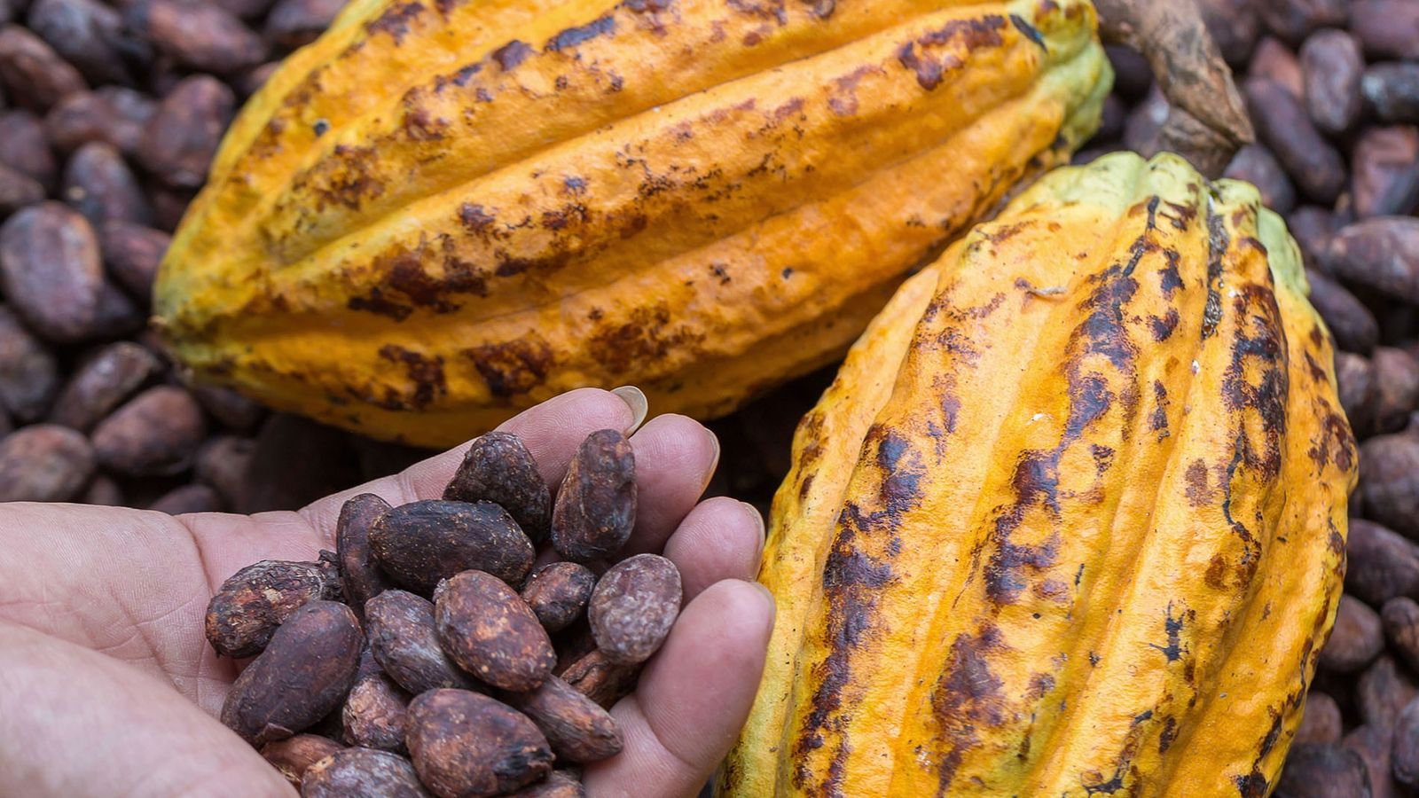 Cacao pod and dried cocoa beans.