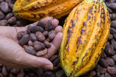 Ecuador: discovering the chocolate champions