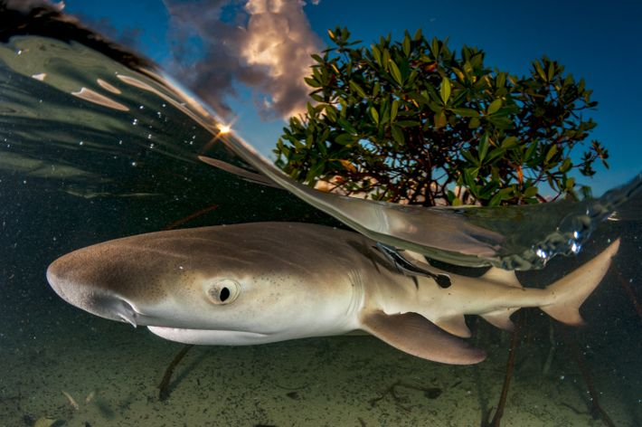 Lemon sharks spend their adolescence near mangrove trees that serve as protection from larger predators. To ...
