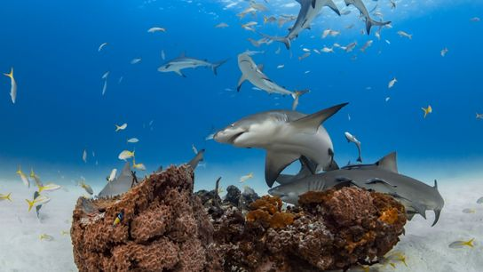 Lemon sharks (above, animals swarm around a coral mound off Grand Bahama Island) can display certain ...