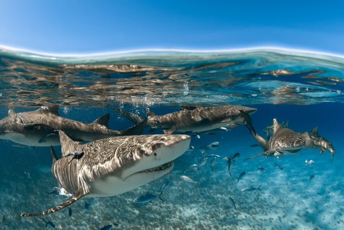 Lemon sharks (seen off the coast of Grand Bahama) seek out companionship of other sharks for ...