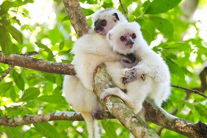Silky sifaka, Marojejy National Park, Madagascar